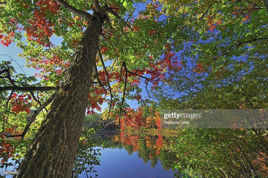 , Tree at Chocorua Lake , White Mountain National Forest , New Hampshire ,