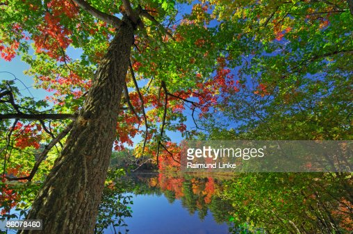 , Tree at Chocorua Lake , White Mountain National Forest , New Hampshire ,