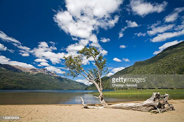 Tree at lake Lago Falkner, region of northern Patagonia, Argentina, South America