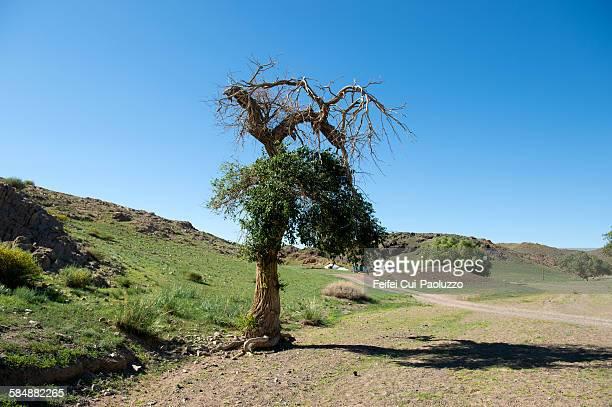Tree at Ongi Vellay Dundgovi Province Mongolia
