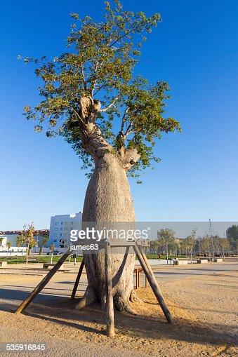 Árbol Baoba con soportes (Adansonia digitata) : Foto de stock