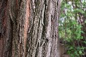 Tree bark and old tree