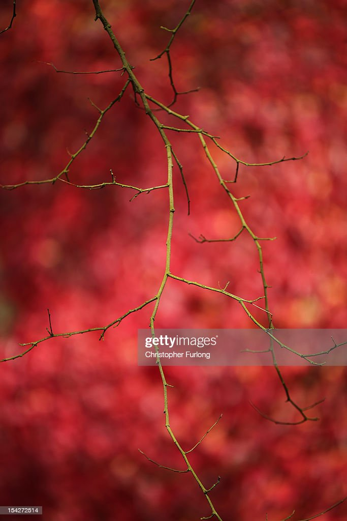 A tree branch that has shed all of it's leaves contrasts against the autumnal red of ivy at The National Trust's Tatton Park on October 17, 2012 in Knutsford, England. As summer draws to a close the cooler temperatures bring on the Autumn foliage colours.