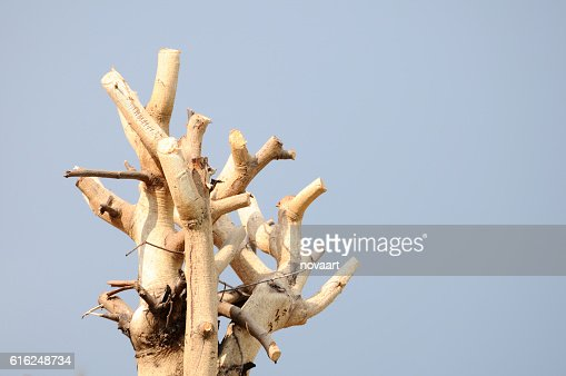 Tree branches trimmed with clean sky : Foto de stock