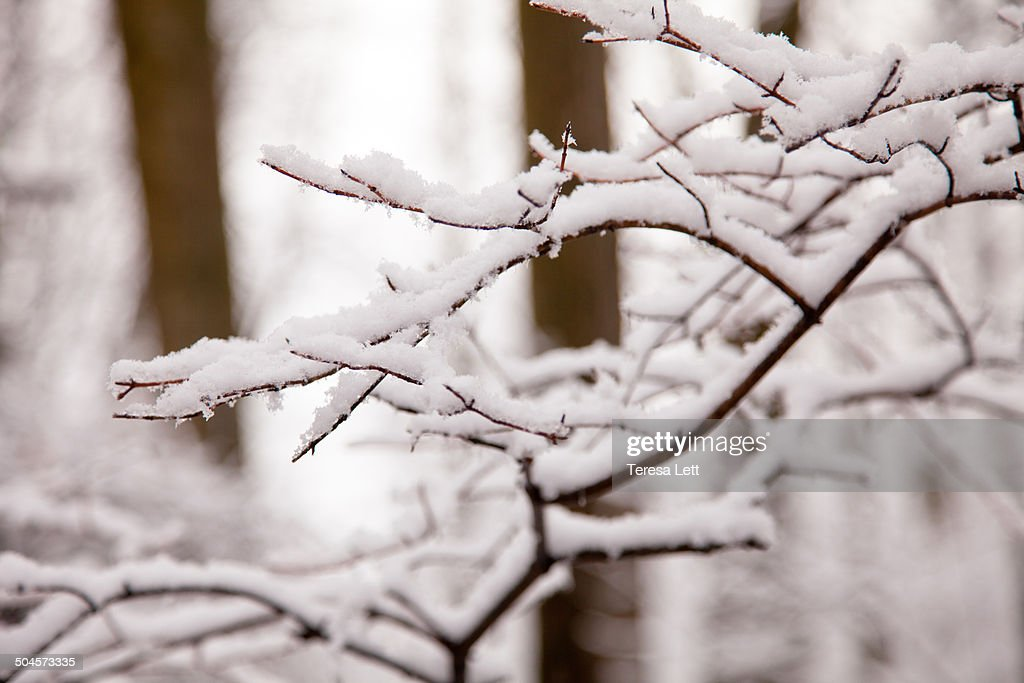 Tree branches with snow