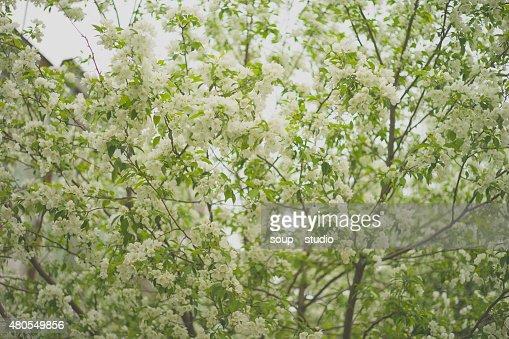 Árvore brunch com flores da Primavera em branco : Foto de stock