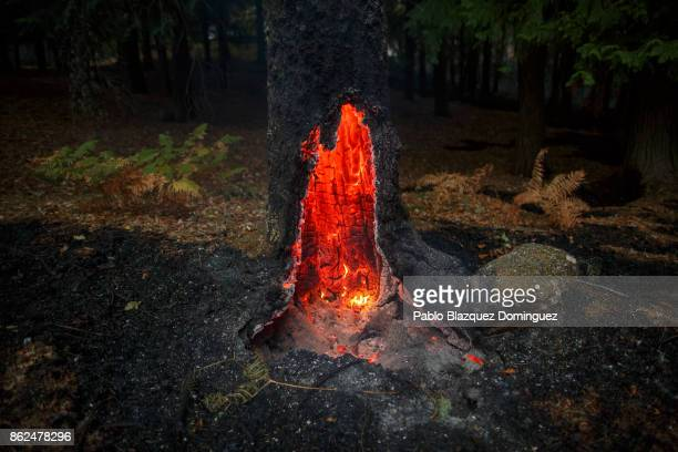 A tree burns near Vouzela on October 17 2017 in Viseu region Portugal At least 41 people have died in fires in Portugal and 4 others in Spain as...