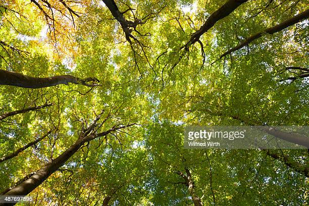 Tree canopies of a beech forest, Jasmund National Park, Ruegen, Mecklenburg-Western-Pomerania, Germany