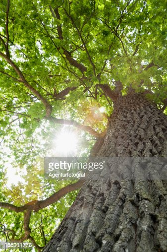 'Tree, common oak (Quercus robur), photographed from below'