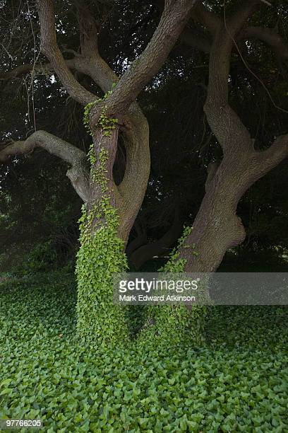 Tree covered in ivy