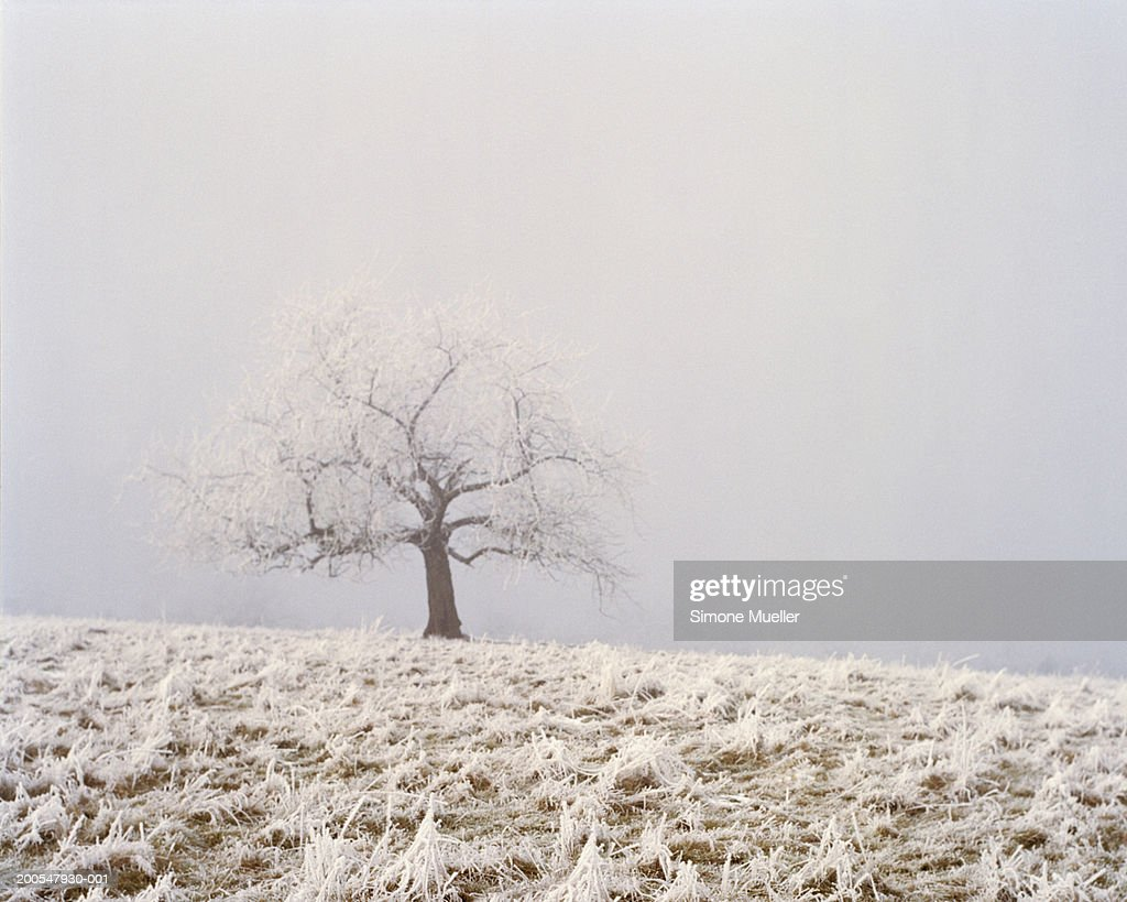 Tree covered in snow in empty field : Stock Photo