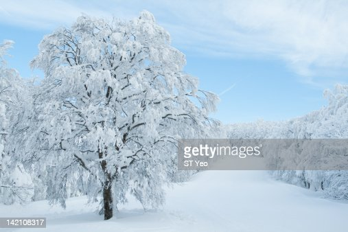 Tree covered in snow : Stock Photo