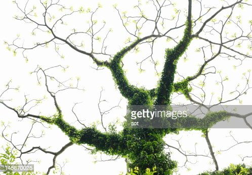 A tree covered with ivy : Stock Photo