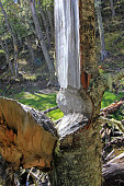 Tree damaged by beavers, Castor valley, Tierra Del Fuego, Patagonia, Chile