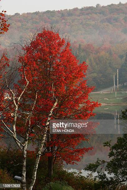 A tree displays its fall colors in the early morning mist 06 October 2007 on Big Pond near Woodford Vermont Fall foliage in the New England region is...