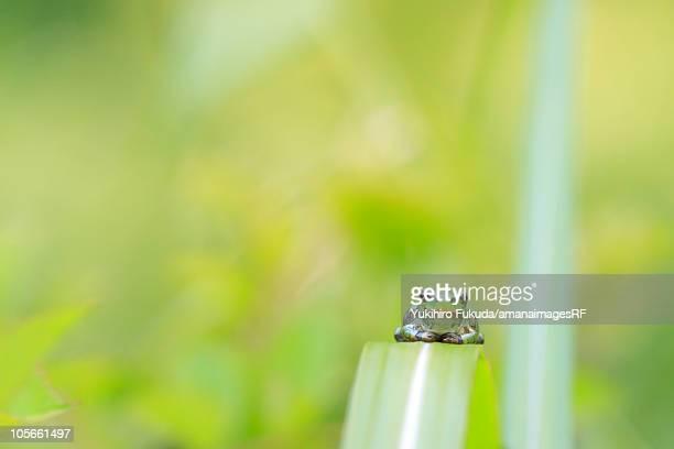 Tree Frog on Leaf Blade
