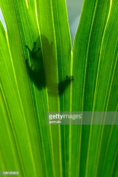 Rainette arboricole silhouettes à feuilles
