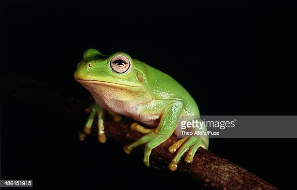 Tree frog sitting on a branch