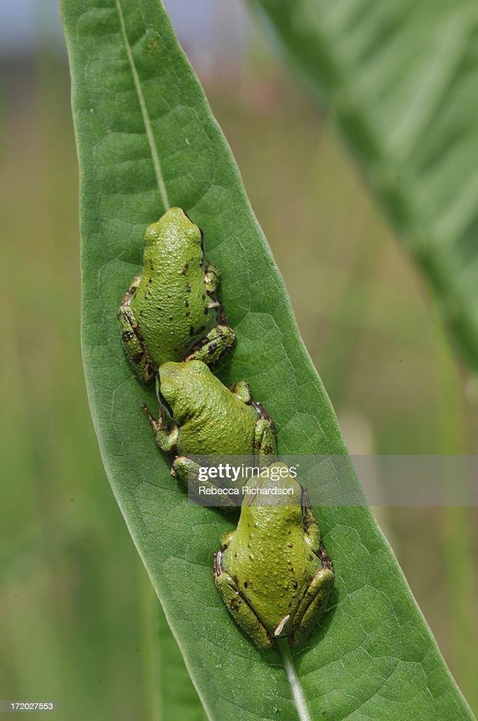 Tree frogs : Stock Photo