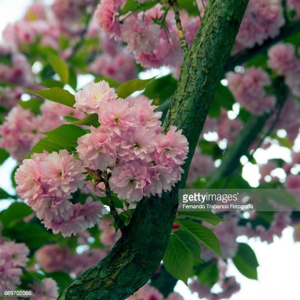 Tree full of pink flowers in spring
