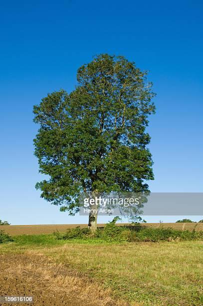 Tree growing in grassy rural field