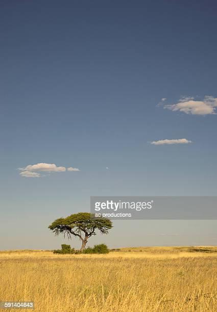 Tree growing in remote savanna field