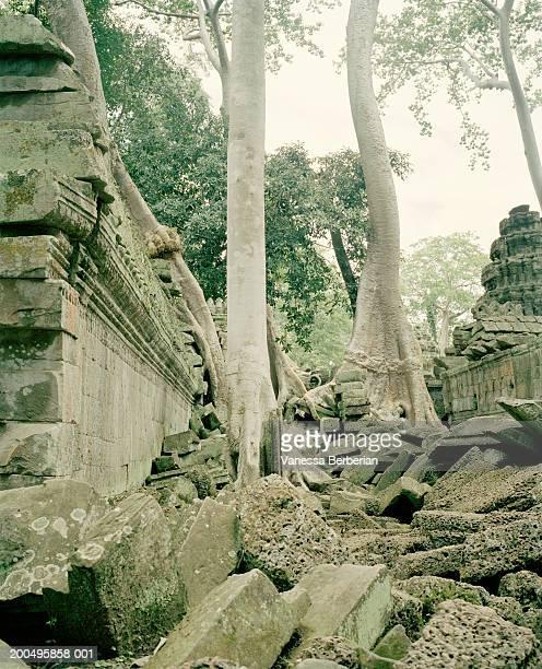 Tree growing over walls at Angkor Thom, Siem Reap, Cambodia