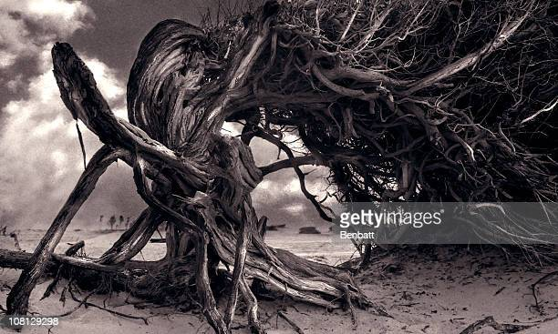 Baum wächst Twisted am Strand, Sepia