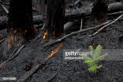 Tree Grows After Forest Fire Stock Photo | Getty Images