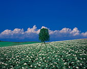 Tree in a field of white flowers