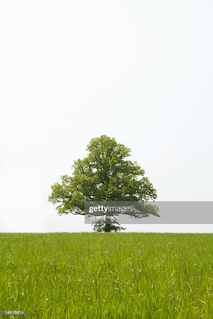 A tree in a field : Stock Photo