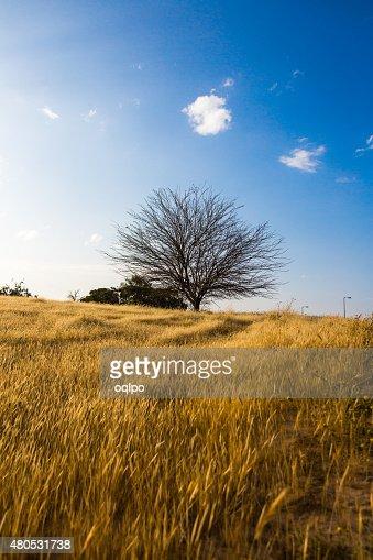 Albero in un campo : Foto stock