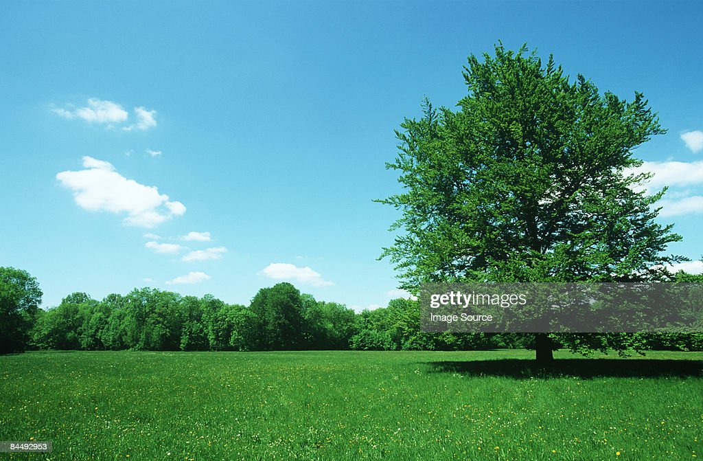 Tree in a field : Stock Photo