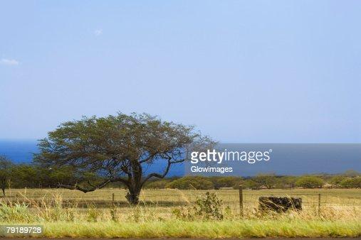 Tree in a field, Pololu Valley, Kohala, Big Island, Hawaii Islands, USA : Stock Photo