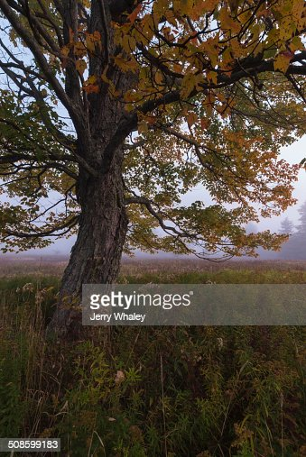 Tree in Canaan Valley, WV : Foto de stock