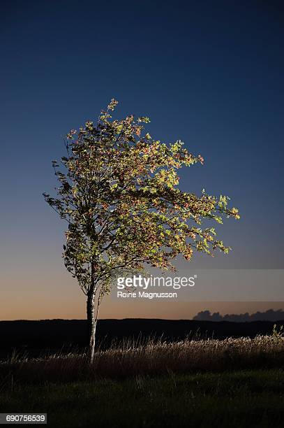 Tree in evening landscape, mountain-ash