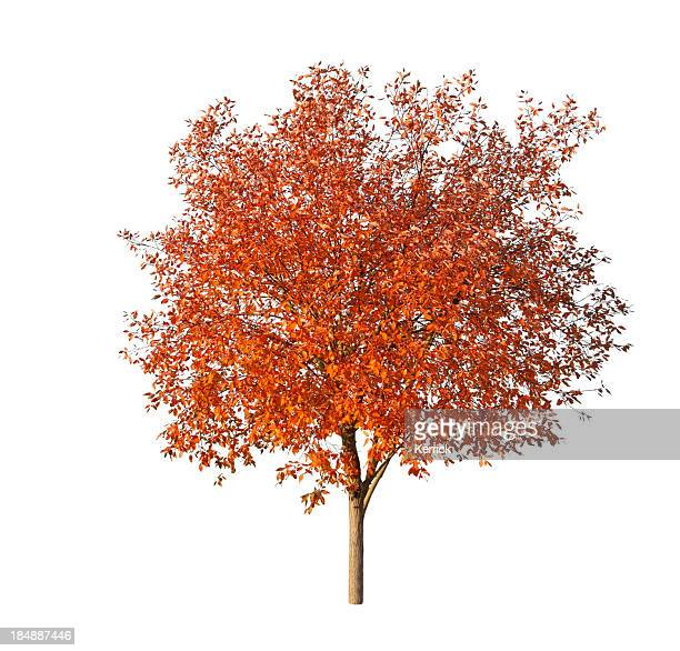 Tree in fall - isolated on white