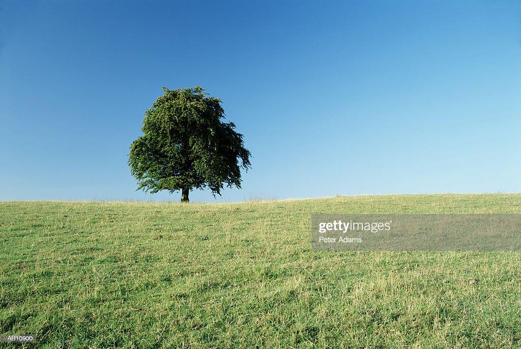 Tree in field in summer : Stock Photo