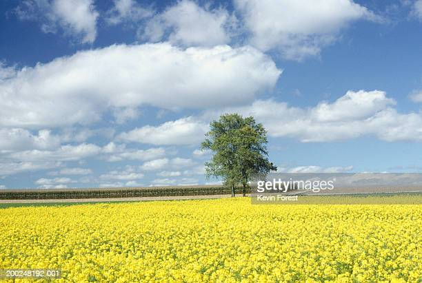 Tree in field of rape, Ulm, Germany