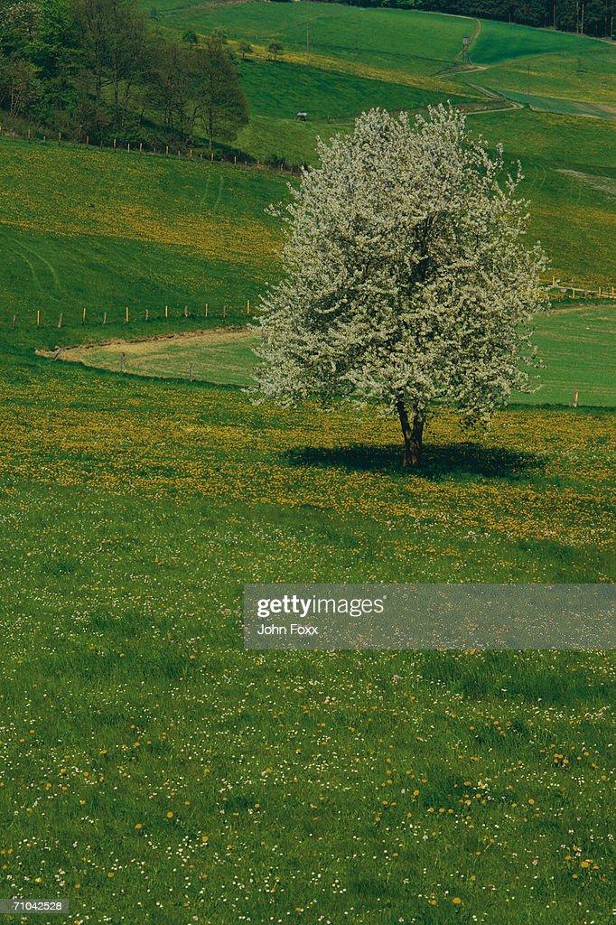 tree in field : Stock Photo