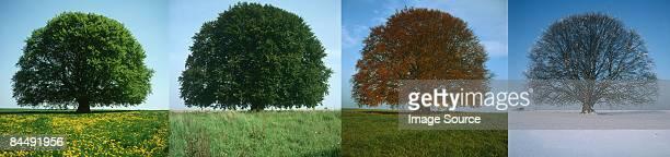 Tree in four seasons