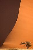 Tree in front of sand dune, Namib Desert, Namibia, Africa