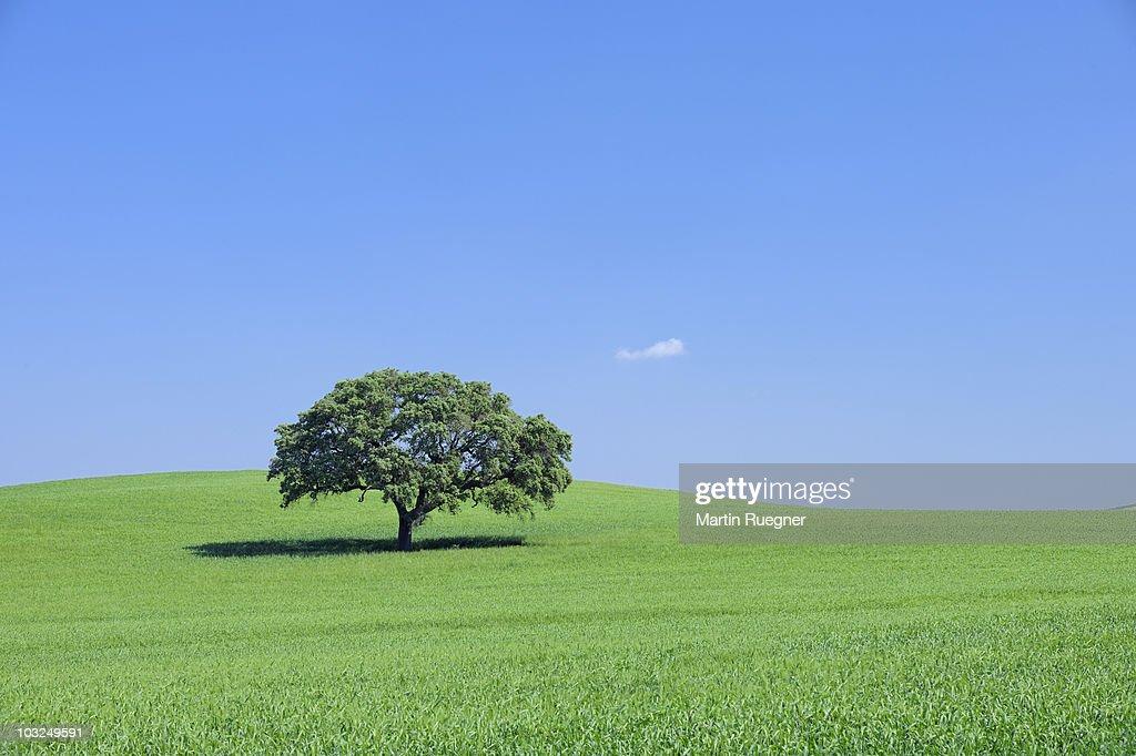 Tree in green wheat field, spring. : Stock Photo
