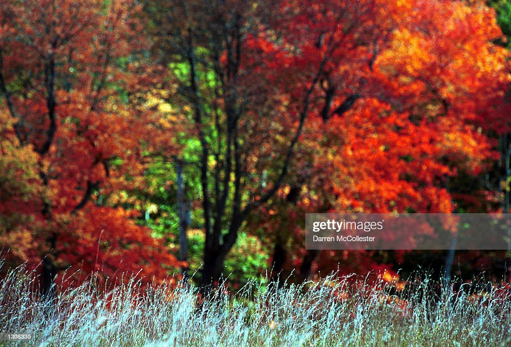 A tree in Minuteman National Park begins to show it''s colors October 10 2000 in Concord MA Regional forecasters say due to New England''s unusually...