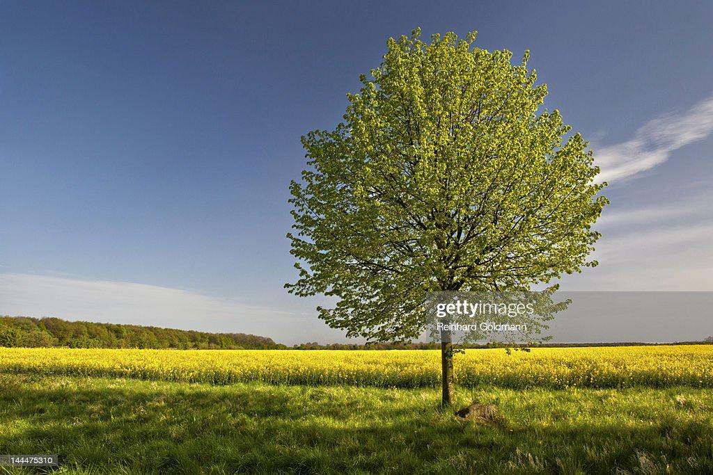 Tree in rape field : Stock Photo