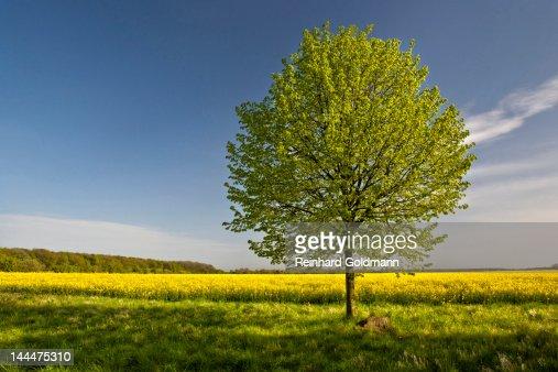 Tree in rape field : ストックフォト