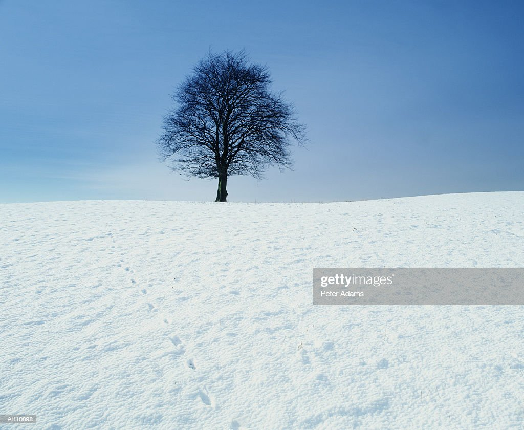 Tree in snow-covered field : Stock Photo