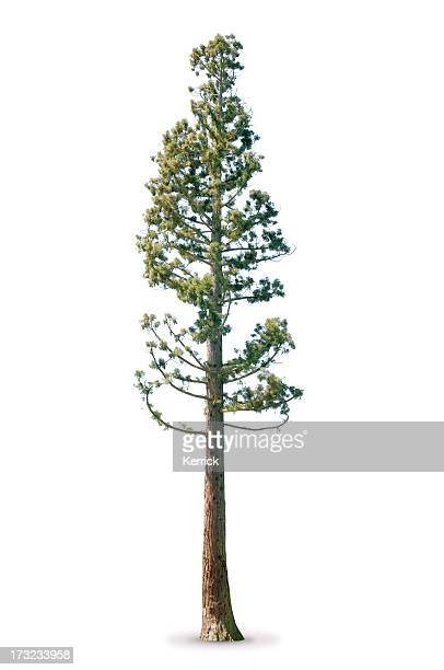 Tree in spring - isolated on white Sequoia