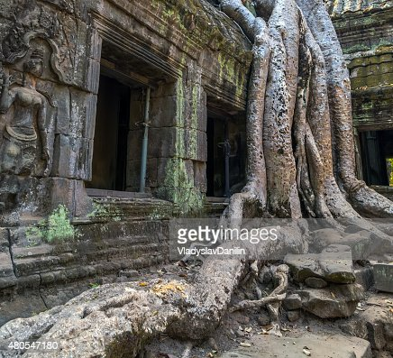 tree in window ruin Ta Prohm, Cambodia. : Stock Photo