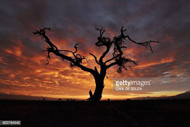 A tree is pictured at sunrise on November 3 2016 at the Amboseli National Park / AFP / CARL DE SOUZA